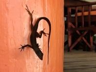 Gecko at Ti Kaye, Anse Cochon
