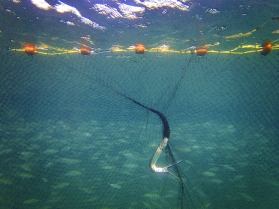 Needle fish in the net