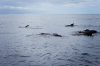 Pilot Whales off Dominica