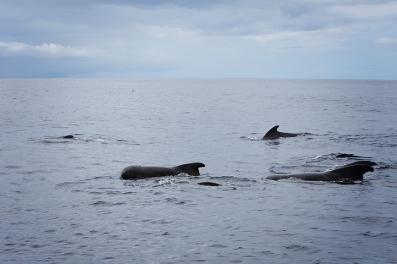 Short finned Pilot Whales
